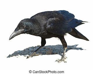 grajo, aislado, Corvus, frugilegus
