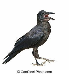 Rook isolated  Corvus frugilegus