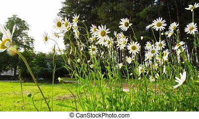 Chamomile Flowers Sway in the Wind. Time Lapse - Chamomile...