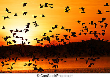 Migrating Snow Geese Fly from Lake - Thousands of migrating...