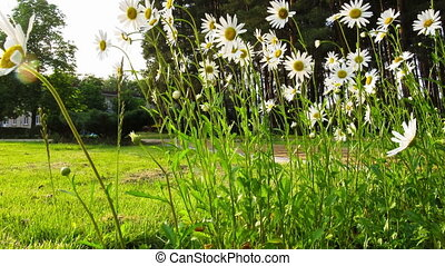 Chamomile in the Grass on the Street. Time Lapse - Chamomile...