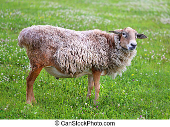 Nice picture of sheep standing on green grass