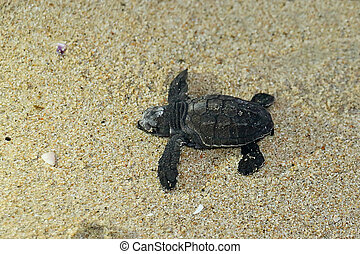 Baby Sea Turtle on the Beach - A newly hatched sea turtle...
