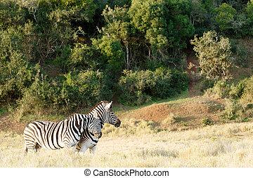 Liebe, reiben, einige, zwei, andere,  zebra, jedes