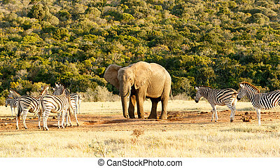 This is my water The African Bush Elephant - Zebra and The...