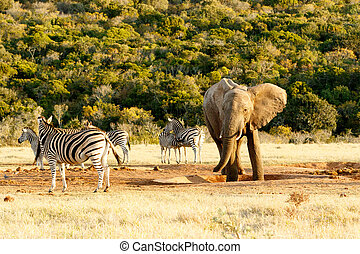 African Bush Elephant standing in the watering hole. - Zebra...