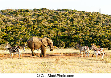 The Elephant and Zebra tail fight - A group of Zebras with...