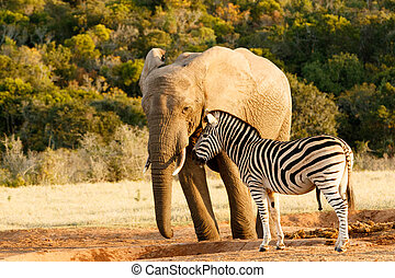 Zebra mocking a huge african bush elephant at the watering...