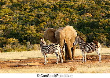 Elephant and Zebra standing at the empty water hole - When...