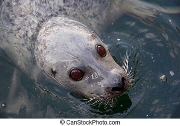 Brown-eyed harbour seal - A closely cropped image of a...