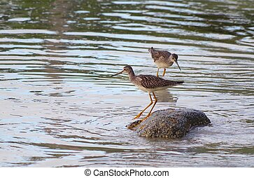 Greater Yellow Legs standing on roc - Two wading...