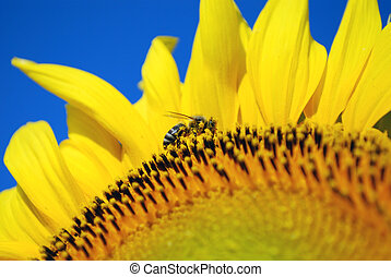 honeybee and sunflower pollen