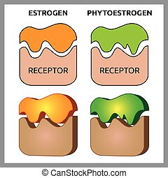 Estrogen and Phytoestrogen Receptors - Medical vector...