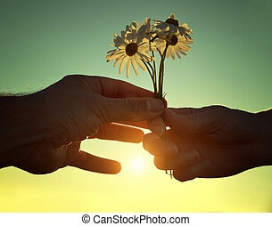 Hand gives a flowers marguerites with love at sunset....