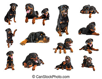 rottweiler - composite picture with puppy and adult purebred...