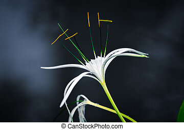 White spider lily with dark background with smoke - White...