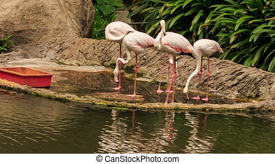 Pink Flamingos Eat Food on Stone Lake Bank from Trough -...