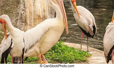 Large Pelican Rests among Sandhill Cranes at Pond in Park -...
