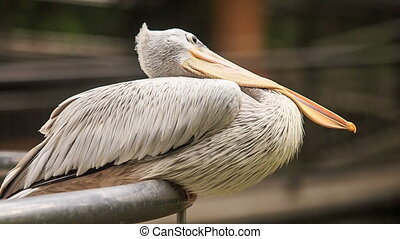 Closeup Pelican Sits on Rail Turns Large Orange Bill -...