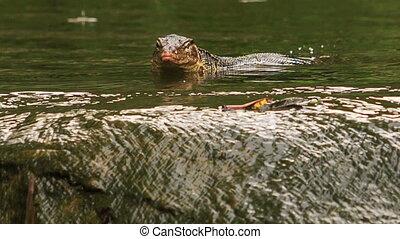 Varanus Swims in Pond by Stony Bank in Park - varanus...