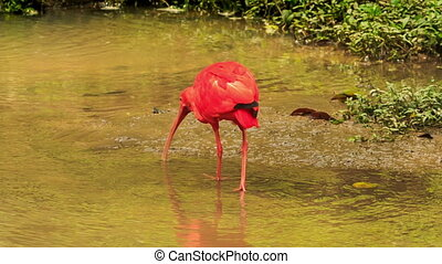 Bright Scarlet Ibis Walks in Shallow Water - closeup...