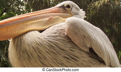 Closeup Pelican with Large Orange Bill - closeup large white...