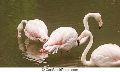 Pink Flamingos Stand in Water Clean Feather - few pink...