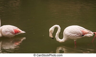 Two Pink Flamingos Stand in Water Clean Feather - two pink...