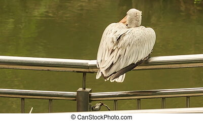Closeup Pelican Sits on Metal Rail of Bridge over Water -...