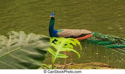 Closeup Peacock Walks along Stone against Water - closeup...