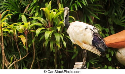Wood Stork Large Bird Sits on Branch at Green Plants - wood...