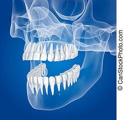 Ilustración, radiografía, dientes, vista, transparente,  scull,  3D