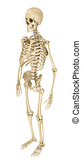 Human skeleton isolated , Medically accurate 3d illustration...
