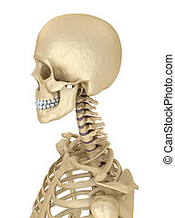 Torso of human skeleton, isolated. Medically accurate 3d...