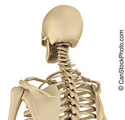 Human skeleton Medically accurate 3D illustration