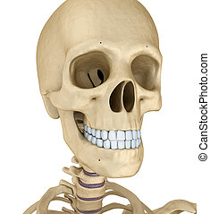 Human skull skeleton, isolated. Medically accurate 3d...