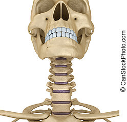 Human skull skeleton: throat, isolated. Medically accurate...