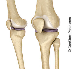 Knee anatomy. Isolated on white. Medically accurate 3D...