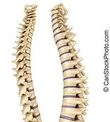 Spine anatomy , 3d render