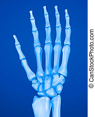 Human wrist anatomy. Xray view. Medically accurate 3D...