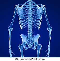Human skeleton, Medically accurate 3d illustration .