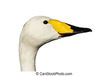 Whooper swan, Cygnus cygnus, Single bird head shot, London...