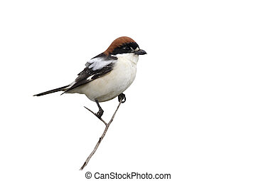 Woodchat shrike, Lanius senator, single bird on perch