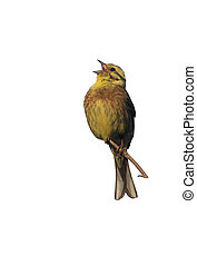 Yellowhammer, Emberiza citrinella, male singing, Scotland,...