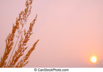 Pink sunset - Meadow grass photographed against a background...