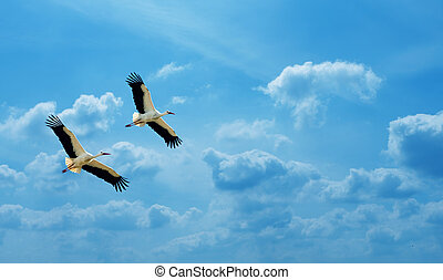 White storks over blue sly background - Beautiful white...