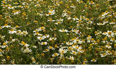 camomile meadow in summer