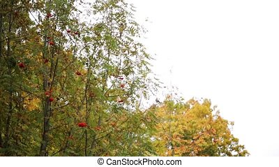 autumn forest with rowan tree and birds - season, nature and...