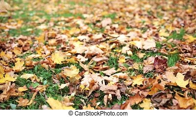 fallen autumn maple leaves on meadow - season, nature and...
