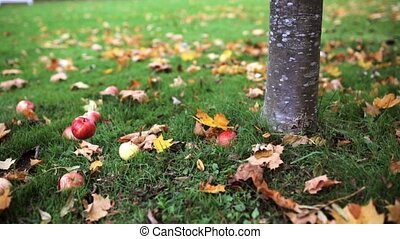 apples fallen under autumn tree - season, nature and...